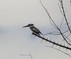 Piedkingfisher OkavangoDelta_14-03-11__O6B1831