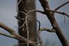 PiedKingfisher Chobe_14-03-08__O6B1122