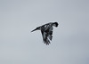Piedkingfisher OkavangoDelta_14-03-11__O6B1832