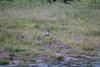 PiedKingFisher Chobe_14-03-08__O6B1391