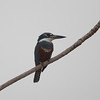 Kingfisher Pantanal_7I2B8968_10-09-25