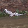 Kingfisher Pantanal_10-09-28_7I2B9954
