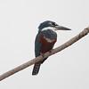 Kingfisher Pantanal_7I2B8967_10-09-25