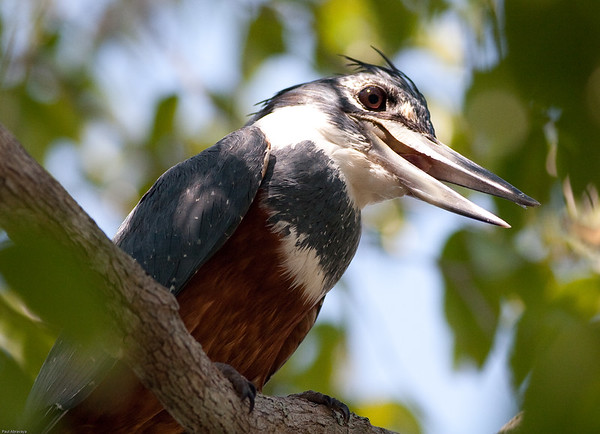 Ringed Kingfisher female, the largest kingfisher in the America's
