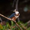 Kingfisher Pantanal_7I2B0258_10-09-28
