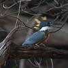 Kingfisher Pantanal_7I2B0060_10-09-27