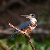 Kingfisher Pantanal_7I2B0257_10-09-28