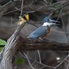 Kingfisher Pantanal_7I2B0061_10-09-27