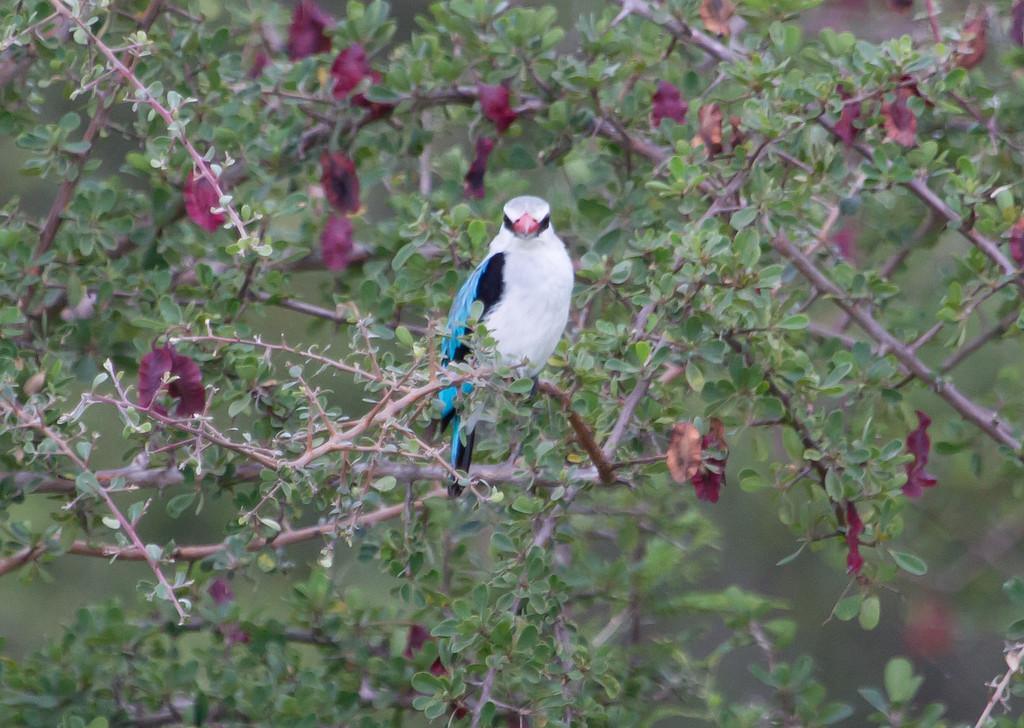 WoodlandKingfisher Kruger_14-03-02__O6B0254