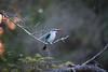 WoodlandKingfisger Ngala_14-03-19__O6B3267
