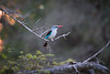 WoodlandKingfisger Ngala_14-03-19__O6B3263