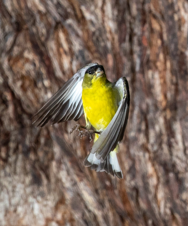 IMAGE: https://photos.smugmug.com/Animal-Pictures/Birds/Lesser-Goldfinch-in-Flight/i-LZ5wnmf/0/f67d13c1/XL/LesGldFnh%20BkYrd_20-04-25__54I1310-XL.jpg