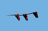 ScarletMacaw VilLapas_09-10-31_7I2B1332