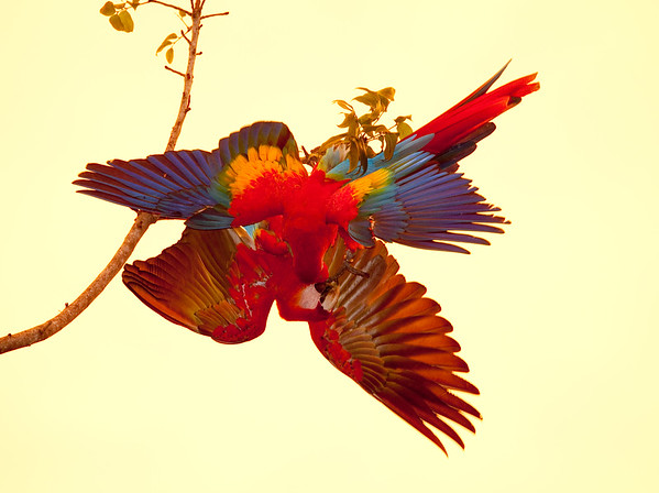 ScarletMacaw Tambor_09-11-06 (411)