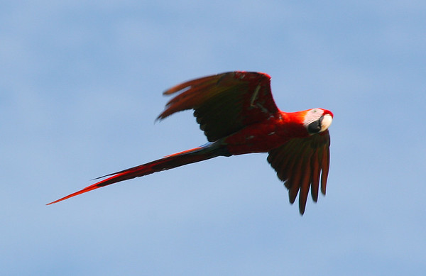 macaws flying (21)_CostaRica-05_07-21-05