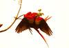 ScarletMacaw Tambor_09-11-06 (319)