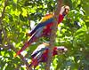 Scarlet macaw_07-08-13_0004