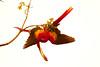 ScarletMacaw Tambor_09-11-06 (370)