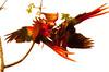 ScarletMacaw Tambor_09-11-06 (325)