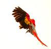 ScarletMacaw Tambor_09-11-06 (255)