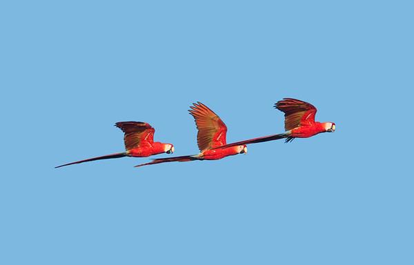 ScarletMacaw VilLapas_09-10-31_7I2B1333