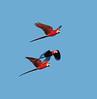 ScarletMacaw VilLapas_09-10-31_7I2B1326
