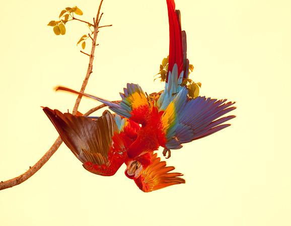 ScarletMacaw Tambor_09-11-06 (410)