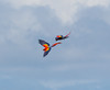 macaws flying (40)_CostaRica-05_07-21-05