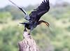 AfricanDarter Chobe_14-03-08__O6B1041