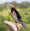 AfricanDarter Chobe_14-03-08__O6B1048