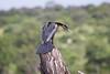 AfricanDarter Chobe_14-03-08__O6B1039