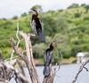 AfricanDarter Chobe_14-03-08__O6B1055