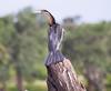 AfricanDarter Chobe_14-03-08__O6B1035