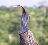AfricanDarter Chobe_14-03-08__O6B1037
