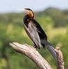 AfricanDarter Chobe_14-03-08__O6B1045
