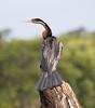 AfricanDarter Chobe_14-03-08__O6B1034