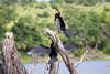 AfricanDarter Chobe_14-03-08__O6B1064