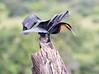 AfricanDarter Chobe_14-03-08__O6B1040