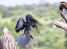 AfricanDarter Chobe_14-03-08__O6B1042