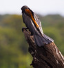 AfricanDarter Chobe_14-03-08__O6B1024