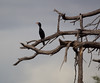 Cormorant OkavangoDelta_14-03-11__O6B1830