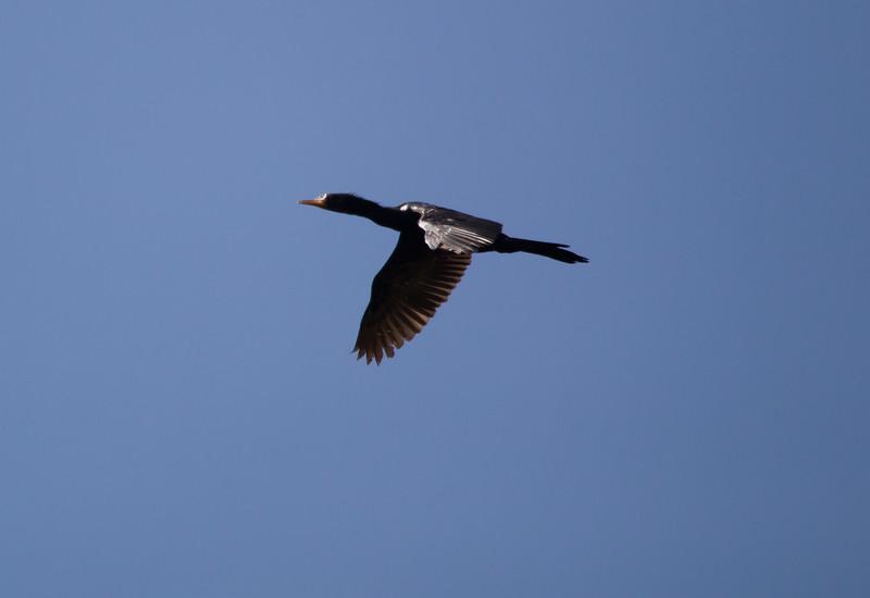 Cormorant JoBerg_14-02-28__O6B9944