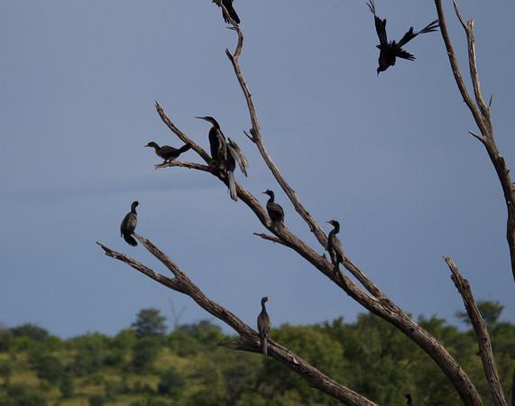 ReedCormorant Chobe_14-03-08__O6B1086