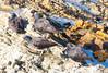 OystercatcherMorroB_07-11-10_0006
