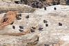 OystercatcherrMorroB_07-11-10_0006