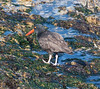 OystercatcherMorroB_07-11-10_0026