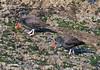 OystercatchMorroB_07-11-10_0002