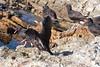 OystercatcherMorroB_07-11-10_0002