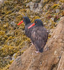 Black Oystercatcher (4)