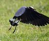 BlackSmithLapwing JoBerg_14-02-28__O6B9985